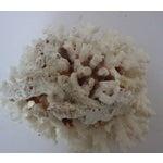 Image of Natural Brown Stem Coral Specimen