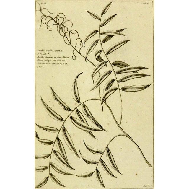 Image of Antique Botanical Engraving, 1773
