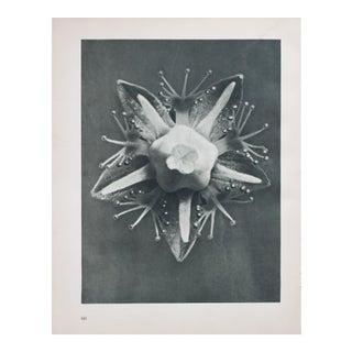 Blossfeldt Double Sided Black & White Photogravure
