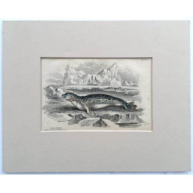 Image of Antique Lithograph of Arctic Seal 19th Century