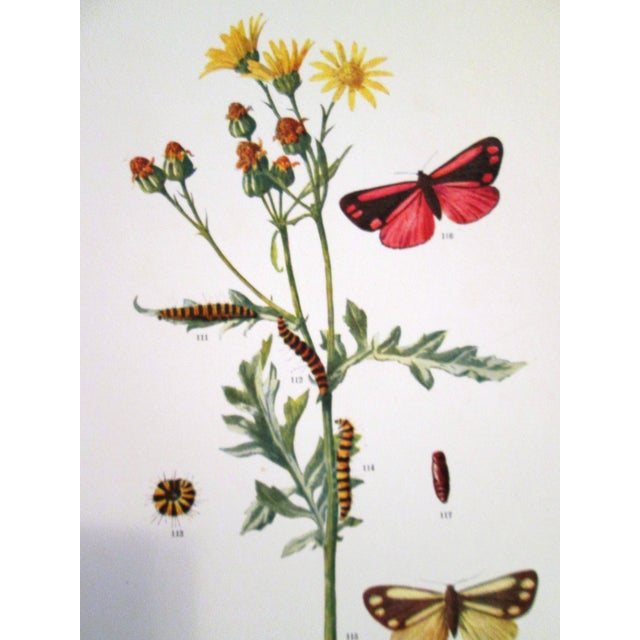 1903 Butterfly & Botanical Prints - Pair - Image 5 of 8