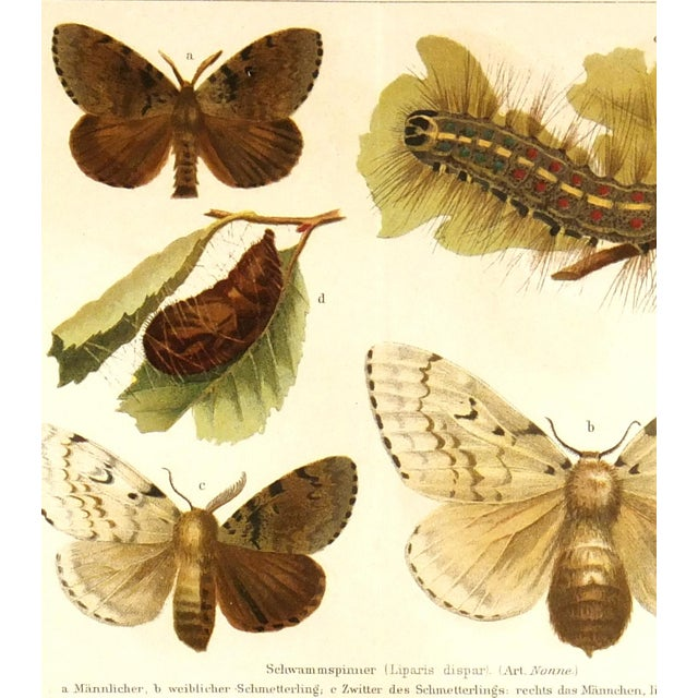 Image of Antique Butterfly Print, 1894