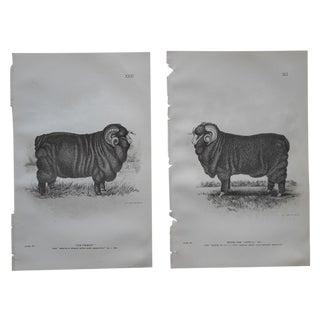 Antique Sheep Lithographs - Pair
