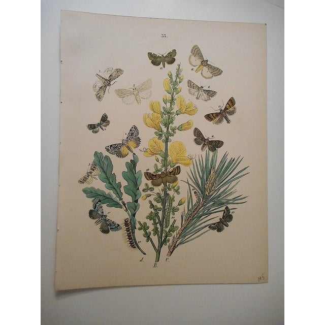 Antique Butterflies/Moths Lithograph - Image 2 of 3