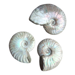 Opal Ammonite Fossils - Set of 3
