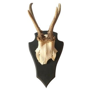 European Roe Deer Skull & Wood Mount
