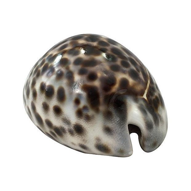 Image of Large Cowrie Shells - S/3