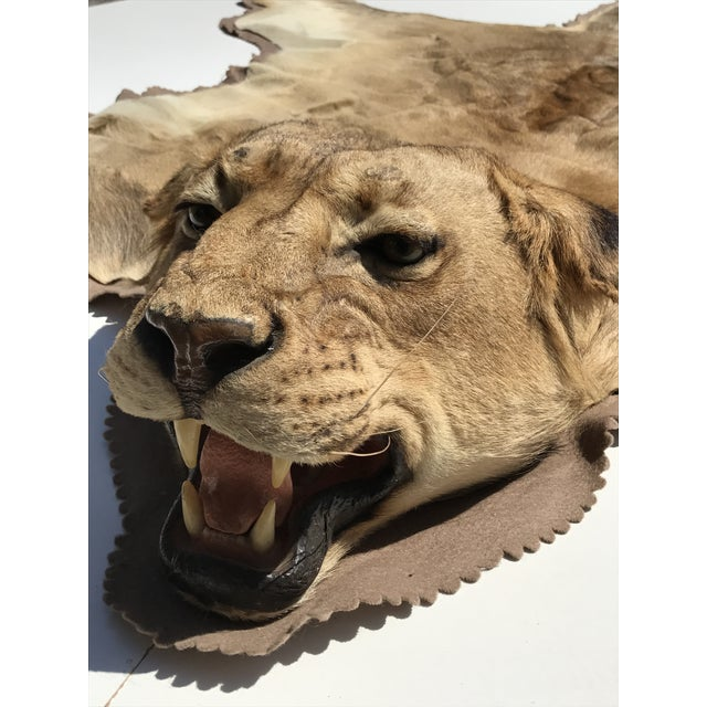 Lion Taxidermy Rug - Image 5 of 10