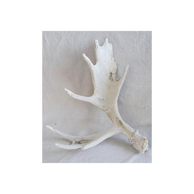 Large Naturally-Shed Moose Antlers - A Pair - Image 5 of 8