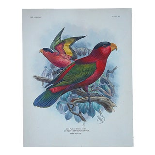 Antique Parrot Lithograph-Hand Colored-The Purple-Bellied Lori-3/4 Size