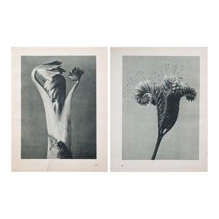 Karl Blossfeldt Two Sided Photogravure N83-84