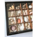 Image of Antique Seashell Collection Shadowbox