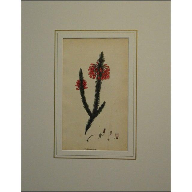 Henry Andrews 1804 Botanical Heather Print - Image 2 of 5