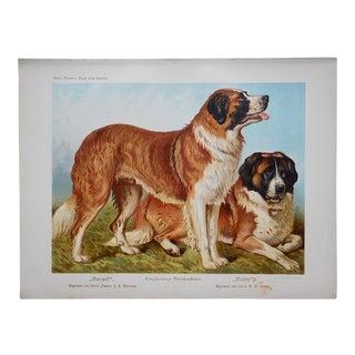 Antique Dog Lithograph - St. Bernards