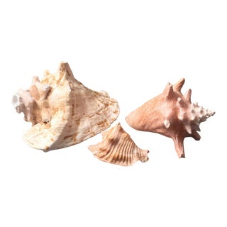 Conch Horn & Shells - Set of 3