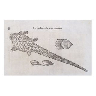 Detailed Italian Engraving - Iguana C. 1600