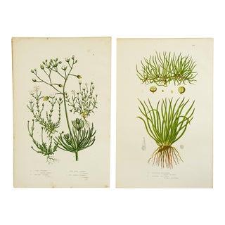 Antique Botanical Grasses Lithographs - A Pair
