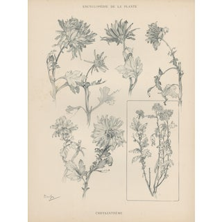 1904 Art Nouveau Botanical Drawing by Mucha