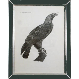 French Large Engraving of an Eagle by Savigny