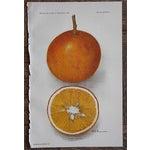 Image of Antique Dugat Orange Lithograph