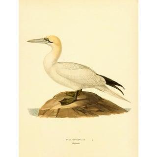 Vintage Northern Gannet Bird Print, 1929