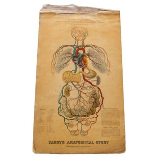 Antique 19th Century Anatomical Chart