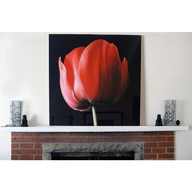"""""""Red Tulip on Black"""" Photograph - Image 2 of 6"""