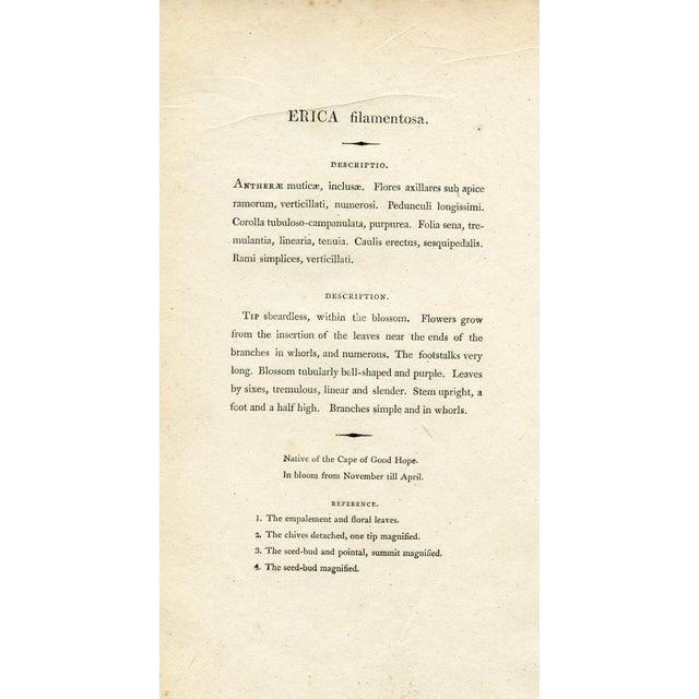 Henry Andrews 1804 Botanical Heather Print - Image 5 of 5