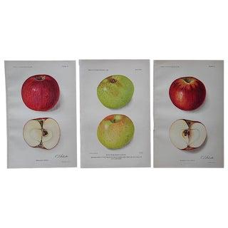 1900's Antique Apple Lithographs - Set of 3