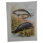 Image of Antique Manatee Chromolithograph