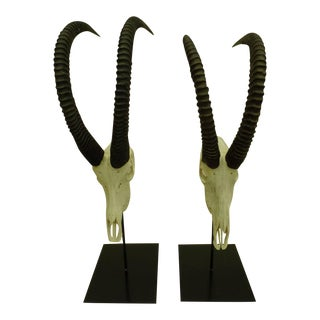 Large Pair of Sable Antelope Mounted Skulls with Curved Ringed Horns