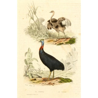 Antique Rhea & Cassowary Engraving