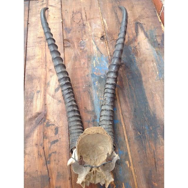 Skull Cap Mounted Antelope Horns - Image 7 of 9