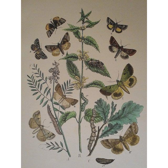 Image of Antique Chromolithograph Butterflies/Moths