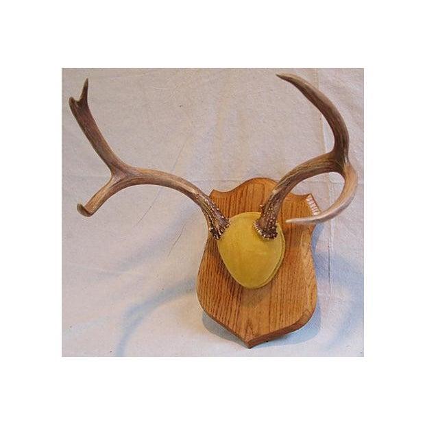 Mounted Trophy Deer Antlers on Wood Shield - Image 5 of 8
