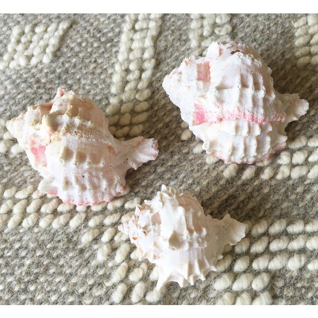 Natural Pink Queen Conch Set/3 Nautical Decor - Image 2 of 9