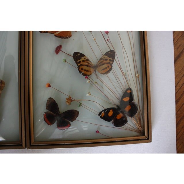 Mid-Century Butterfly Specimens - A Pair - Image 3 of 3