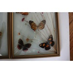 Image of Mid-Century Butterfly Specimens - A Pair