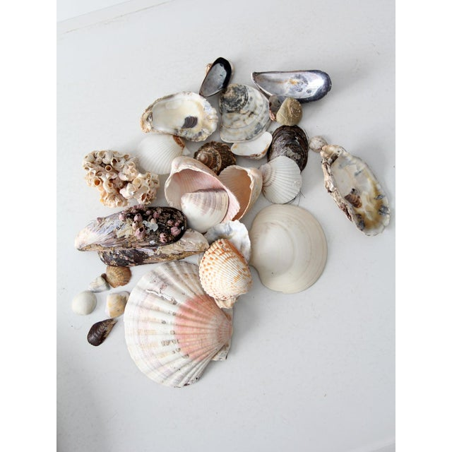 Image of Vintage Sea Shell Collection - Set of 25