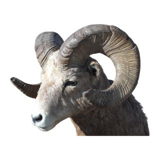 Trophy Bighorn Sheep From Wyoming