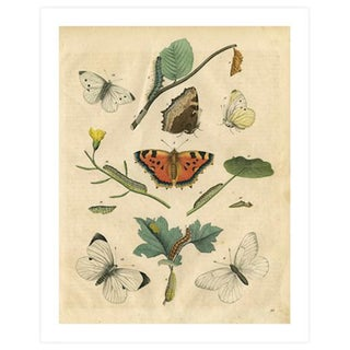Vintage Butterflies & Caterpillars Archival Print