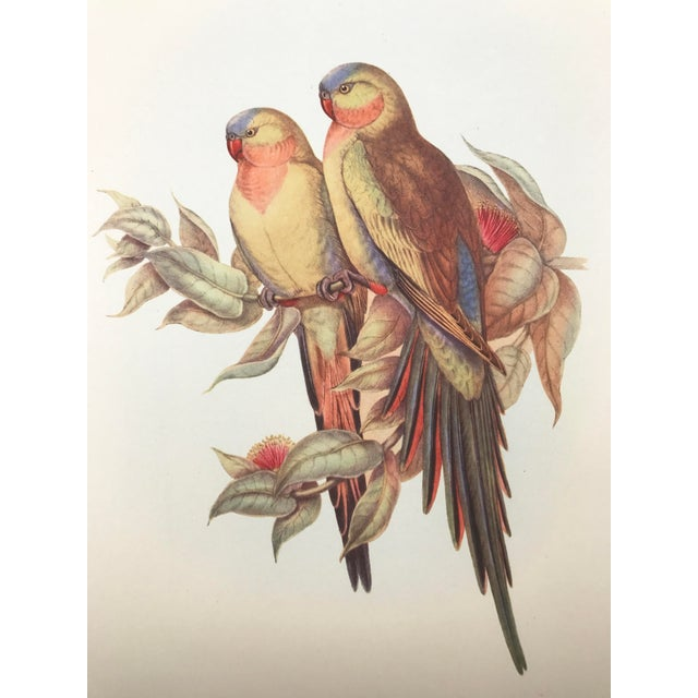 Princess Of Wales Parakeet Parrot Print By Gould