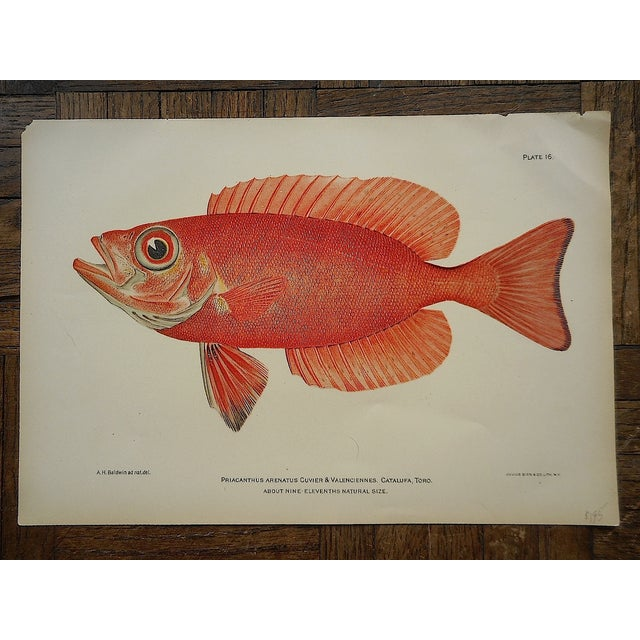 Antique Tropical Fish Lithographs - Set of 3 - Image 3 of 5