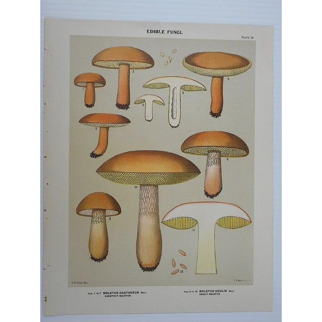 Antique Mushroom Lithograph Prints- Set of 3 - Image 5 of 5