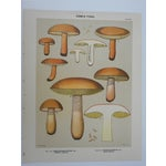 Image of Antique Mushroom Lithograph Prints- Set of 3