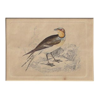 C. 1840 Colored Pratincole Engraving