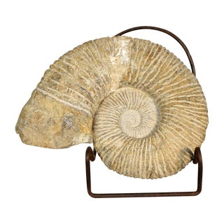 Shell-Shaped Ammonite Fossil on Iron Stand