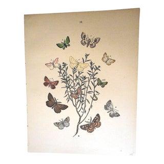 Antique Chromolithograph of Butterflies/Moths