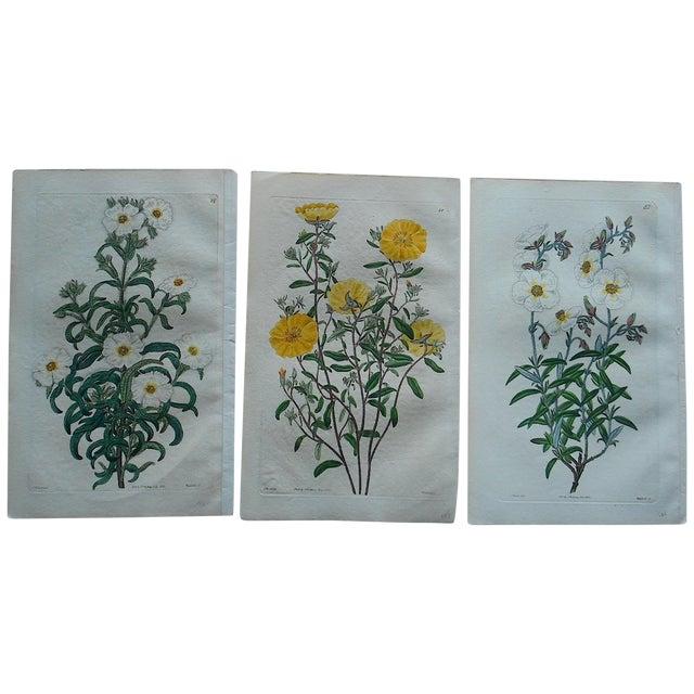 Antique Botanical Engravings - Set of 3 - Image 1 of 6