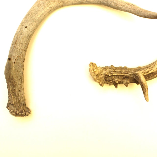 White-Tailed Deer Antlers - Pair - Image 4 of 4
